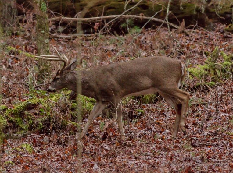 Natures Deer pSp