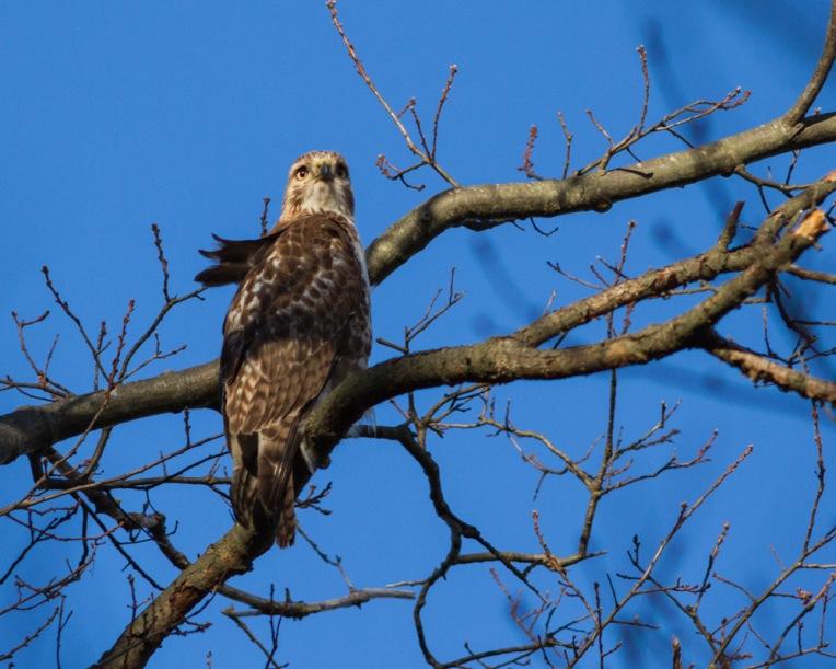 Hawk-12