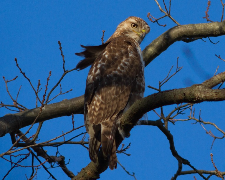 Hawk-13