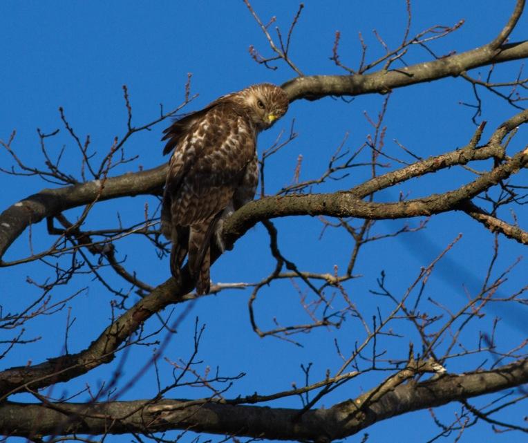 Hawk-6